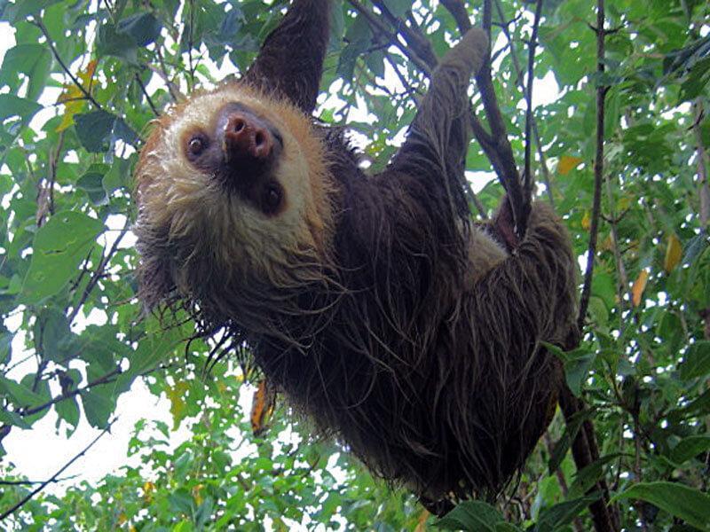 Sloths at Monteverde, Puntarenas